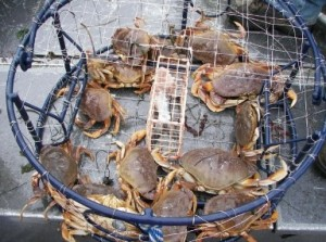 Dungeness crab - changes to Demoic acid protocols